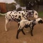 ダルメシアンみたいな羊