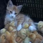 たくさんの雛に囲まれて癒されるネコ