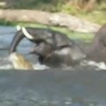 ワニに襲われるゾウ / ワニ vs. ゾウ
