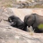 水溜まりから出られなくなった象の赤ちゃんを救出する母