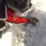 吹雪で雪に埋もれた羊の救出