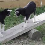シーソーで遊ぶ2匹の仔山羊