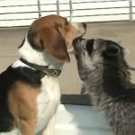 アライグマ先生の歯の検査を受けるビーグル犬