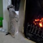 暖炉で暖まるミーアキャット
