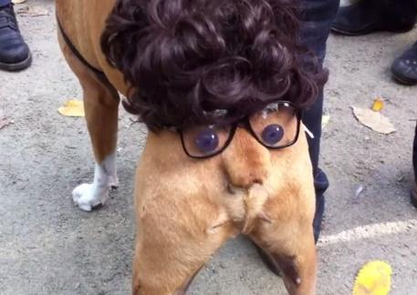 ボクサー犬がハロウィンで面白い仮装