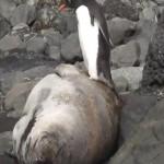 ペンギンに睡眠を妨害されて叫ぶアザラシ