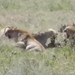 ライオン vs. ハイエナ ライオンの獲物を横取りするハイエナ