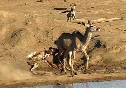 クーズーを狩るリカオンの群れ