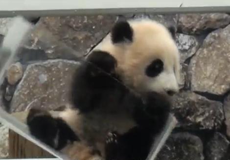 アドベンチャーワールドの赤ちゃんパンダ危機一髪!