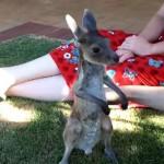 マッサージされてちびってしまうカンガルーの赤ちゃん