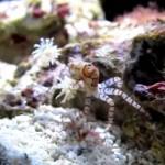 チアリーダー蟹? キンチャクガニ