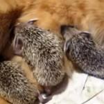 ハリネズミの赤ちゃんの面倒をみる猫