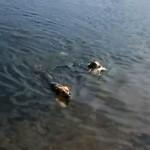 泳いでいる魚を捕まえるワンコ