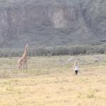 野生のキリンに近づく女性