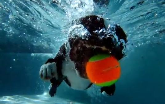 犬がプールでボール遊び、ハイスピードカメラで撮影