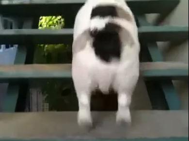 階段の登り方が可愛すぎるワンコ