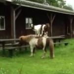 馬の背中に乗る2匹のヤギ
