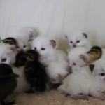 アヒルの雛と子猫