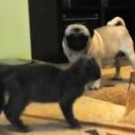 猫がパグの前でローリング後ビックリ