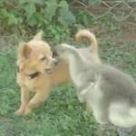 ガチョウの子供 vs. 子犬