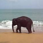 ビーチで縄遊びをするゾウの子供