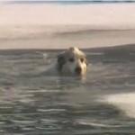 凍てつく川に落ちたワンコの救助