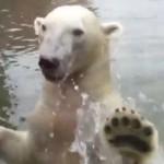 水面から突然姿を現すホッキョクグマ!