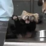 レッサーパンダの赤ちゃん、驚いてひっくり返る