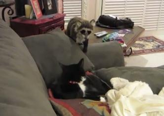 アライグマのぬいぐるみでネコを驚かせる