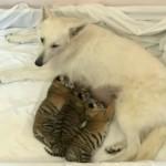 3匹のトラの赤ちゃんの育ての親になる犬