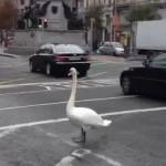 都会の道路に白鳥が出没