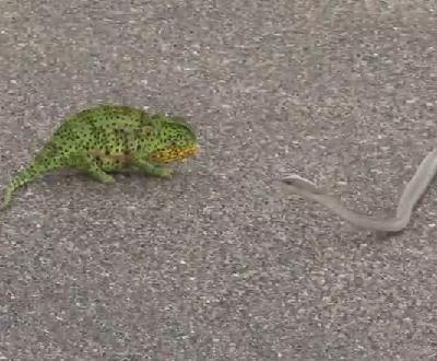 毒蛇 (ブームスラン)vs. カメレオン