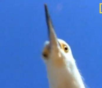 水鉄砲で鳥を撃退するタコ