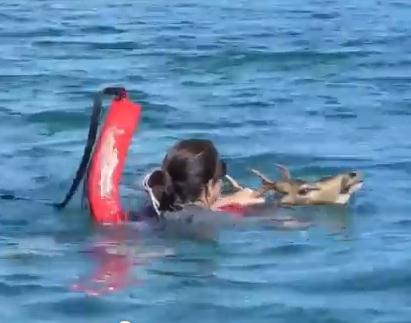 ハワイのマウイ島で漂流している鹿を発見、救助