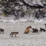 熊の親子を襲うオオカミの群れ クマ vs. オオカミ