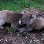 取っ組み合いをしていたコアラが突然男に近寄り…