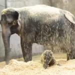 楽しそうおに木くずを浴びるゾウの親子