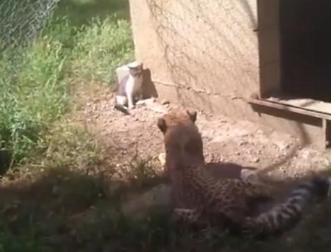 猫ピンチ!?猫 vs チーターの子供