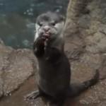 一生懸命何かを食べる、のとじま水族館のカワウソ