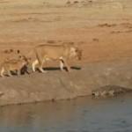 ライオンの子供が水辺でワニの危険性についての勉強
