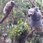 近づいてこれない赤ちゃんコアラに一肌脱ぐ母コアラ
