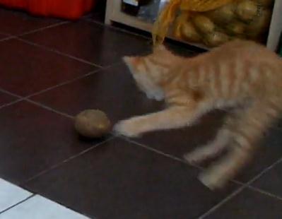 ジャガイモに戦いを挑むネコ