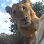 ラジコンにカメラを搭載してライオンを大接近撮影