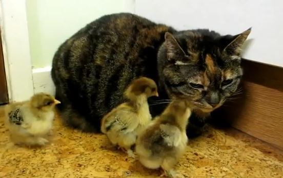ネコの周りをウロウロするヒヨコ