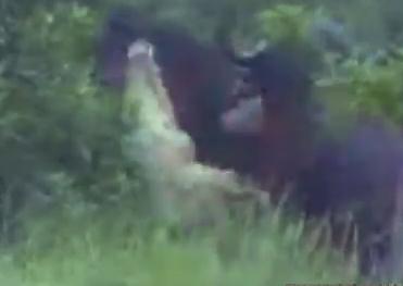 ワニ vs. 水牛、水牛が仲間の足を噛まれ発狂!