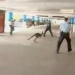 メルボルン空港の駐車場にカンガルー乱入