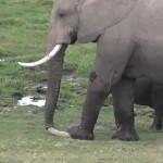 木の棒を使って爪の掃除をするアフリカゾウ