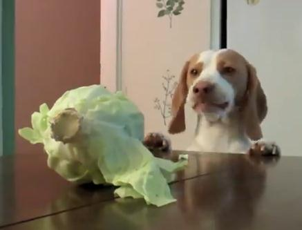 キャベツ泥棒犬