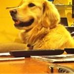 ギターの演奏を聴いていたゴールデンレトリーバー