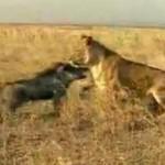イノシシ vs. ライオン、ライオンを撃退するイノシシ